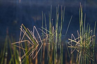 Water Reeds #1