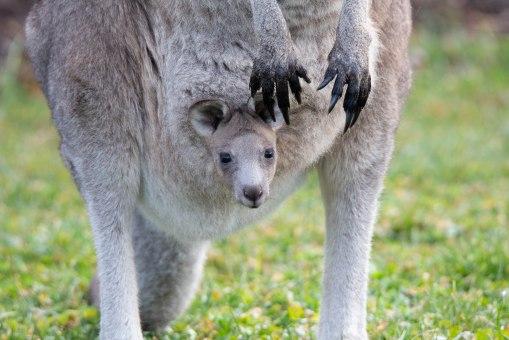 20180722_095410_kangaroo_146A8588